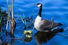 A mother goose watches her goslings as they explore by the shore.  royalty free stock images