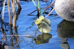 A mother goose watches her goslings as they explore by the shore.  stock photos