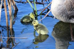 A mother goose watches her goslings as they explore by the shore.  stock photography
