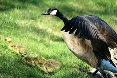 Mother goose watching after her babies Stock Photography