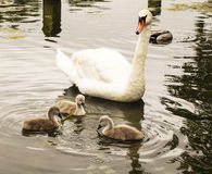 Mother Goose watching her Baby Chicks on the water Royalty Free Stock Photography