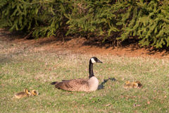 Mother Goose with Yellow Goslings. A mother Canadian Goose (branta canadensis) sitting with her baby goslings royalty free stock photography