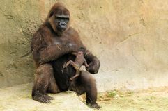 Mother gorilla & baby Stock Images