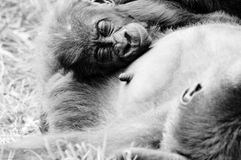 Mother gorilla and baby. Female gorilla and baby laying on chest Royalty Free Stock Photography