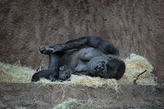 Mother gorilla with baby. royalty free stock image