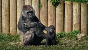 Mother gorilla with baby at the zoo. Large female gorilla with her baby on sunny day stock video