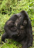 Mother Gorilla breastfeeding Stock Images