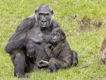 Mother gorilla with her baby royalty free stock photo