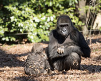 Mother Gorilla and Her Baby Royalty Free Stock Photos