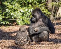 Mother Gorilla and Her Baby Royalty Free Stock Photography