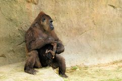 Mother gorilla holding baby Royalty Free Stock Image