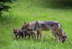 Mother Gray Wolf with three pups. Stock Photo