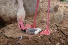 A Mother Greater Flamingo Phoenicopterus roseus and new baby royalty free stock photography