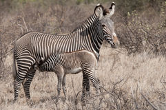 Mother Grevy's Zebra with her foal. Stock Images