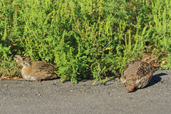 Mother grey partridge and small partridges Stock Photo