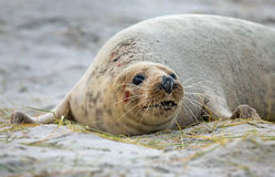 Mother grey seal Royalty Free Stock Photography