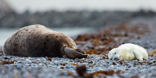 Mother grey seal and baby Stock Photography