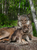 Mother Grey Wolf and Pup (Canis lupus) Stock Photography
