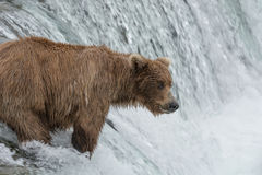 Mother grizzly bear catching Salmon at the top of a waterfall Stock Photo