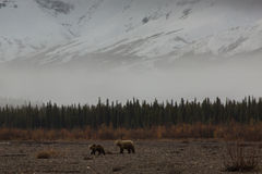 A Mother Grizzly Bear and Her Cub in a River Valley Stock Image