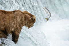 Mother Grizzly bear misses an opportunity to catch a salmon - Brook Falls - Alaska Stock Images
