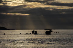 Mother Grizzly bear and two cubs in sunrise. Mother Grizzly bear watching out for Salmons whilst her two cubs waiting, during sunrise at Hallo Bay. The water is Stock Photography