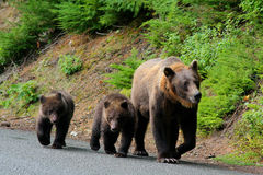 Mother grizzly with cubs in Alaska. Mother grizzly bear with cubs after fishing for salmon in the Chilkoot River near Haines Alaska Royalty Free Stock Photo