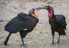Mother ground hornbill feeding juvenile. These Hornbilsl were spotted in the Kruger national Park in South Africa. the adult was feeding the juvenile. These Stock Image