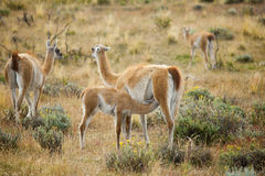Mother guanaco feeding its baby Royalty Free Stock Photography