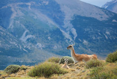 Mother guanaco with its baby Stock Photo