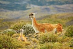 Mother guanaco with its baby Royalty Free Stock Image