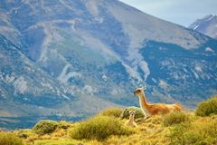 Mother guanaco with its baby Royalty Free Stock Photos
