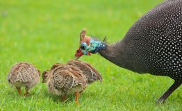 Guinea fowl with babies royalty free stock photography