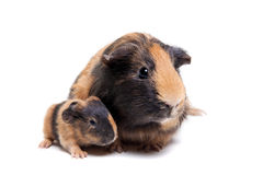 Mother Guinea Pig and her baby Stock Image