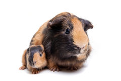 Mother Guinea Pig and her baby Stock Images