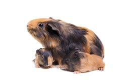 Mother Guinea Pig and her baby Royalty Free Stock Photos