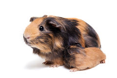 Mother Guinea Pig and her baby Stock Photos