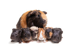 Mother Guinea Pig and her six babies Royalty Free Stock Photos