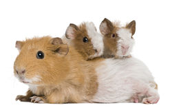 Mother Guinea Pig and her two babies. Against white background Stock Images