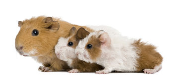 Mother Guinea Pig and her two babies royalty free stock images