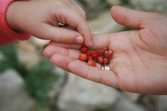 Mother hand giving wildberries to her child Royalty Free Stock Images