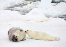 Mother harp seal cow and newborn pup Stock Photo