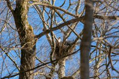 Mother hawk perched in her nest, high above the forest royalty free stock image