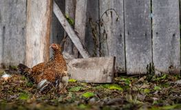 Mother hen brooding her chicks stock images