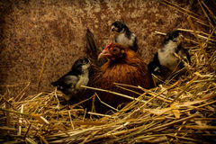 Mother Hen Cares for New Chicks Stock Image