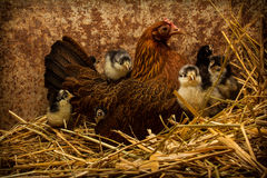 Mother Hen Cares for New Chicks Royalty Free Stock Images