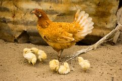 Mother hen and chickens Stock Photography
