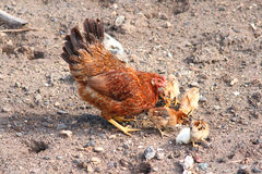 Mother hen with chickens Stock Photo