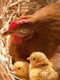 Mother Hen with  chickens in the nest Stock Image