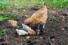 Mother hen with chickens Stock Image